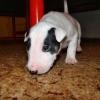 Buster Little Bull