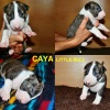 Caya Little Bull