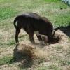 Chocolate Bitevní pes