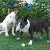Chocolate Bitevní pes + Cindy od Výří skály